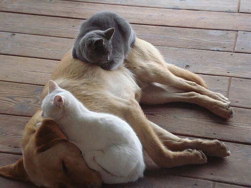 Comfortable Bed: Dogs Beds, Cat Beds, Pet, Dogs Cat, Cat Naps, Odd Couple, Naps Time, Animal, White Cat