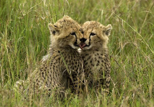 17 Best Images About Baby Cheetahs! On Pinterest