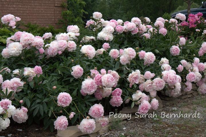 Peony Sarah Bernhardt: Gardens Flowers, Front Gardens, Gardening Indoor Plants, Front Flowers Beds, Peonies Sarah, Gardens Design, Dreams Gardens, Future Gardens, Flowers Everywhere