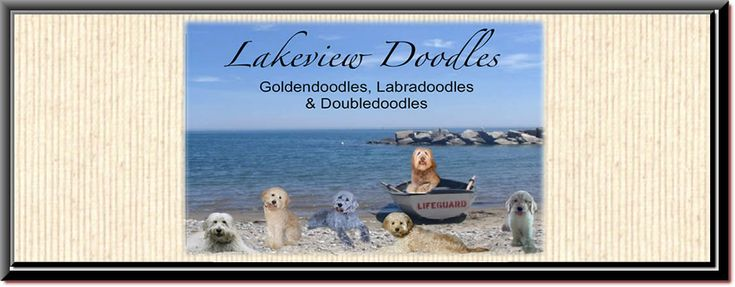 Lakeview's Goldendoodle Puppies New York/ Goldendoodle Breeder New York/ Mini Goldendoodles NY/ Standard Goldendoodle Puppies NY/ Labradoodle & Double Doodle Puppies NY/ Goldendoodles New York breeders / Lakeview Doodles NY/ Mini Labradoodle / Our Breeding Dogs / Lakeview Doodles NY
