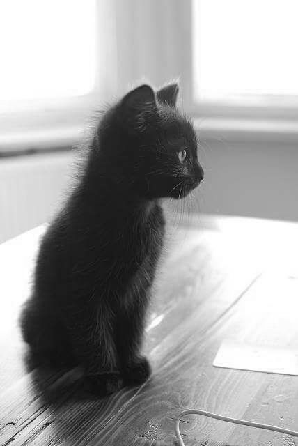 Cats W & B - adorable black kitten (hva)