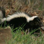Best 25 Skunk Smell Remover Ideas On Pinterest Pet