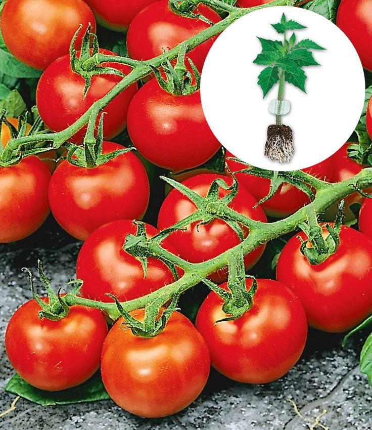 Veredelte Strauchtomate 'Sparta' F1, easyplant: 6375: grosse Früchte, ausgeizen, Stützhilfe. Langzeitdünger