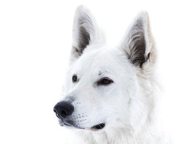 10 Imagenes De Hermosos Perros Blancos