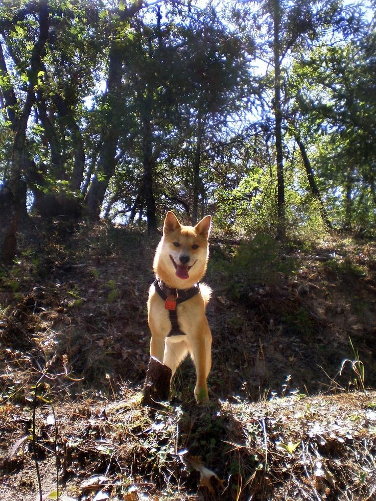 Adventures !Jackson Dogs, Sweetest Pets, Happy Dogs, Adventures Mi Dogs, Shibba Adventure, Dogs Face