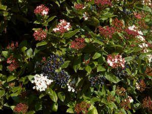 Conoce en detalle algunos de los arbustos de hoja perenne más bonitos...