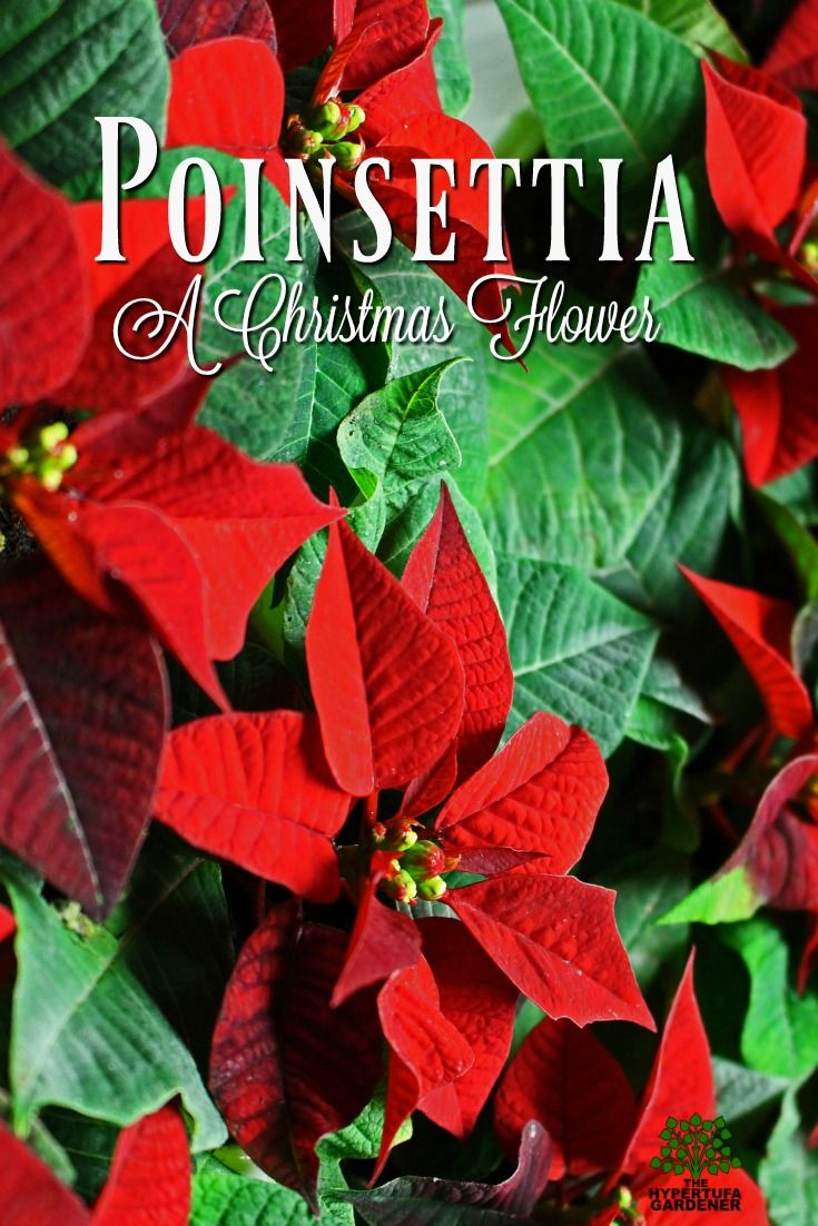 Poinsettia A Christmas Flower But Is It Poisonous The Hypertufa Gardener Flower Pot Design Flowers Poinsettia Flower