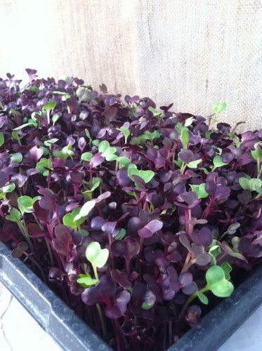 "Buy Microgreen Seeds Online  at Marty Ware's shop  ""Potted Vegetable Garden Lifestyle"" View a wide range of cost wise products available to get your microgreens garden up and running fast. Click on the link or image to see more."