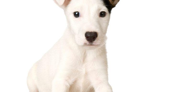 Cómo tratar la fiebre por garrapatas en los perros. La fiebre por garrapatas es un término genérico que identifica a un grupo de enfermedades. Este grupo incluye la fiebre eruptiva de las Montañas Rocallosas, la enfermedad de sarna, la piroplasmosis y erliquiosis. Esta última enfermedad, erliquiosis, es la más común de este grupo mortal y es tan engañosa como letal. Los veterinarios encuentran ...