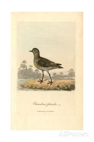 European Golden Plover, Pluvialis Apricaria Giclee Print by George Graves at AllPosters.com
