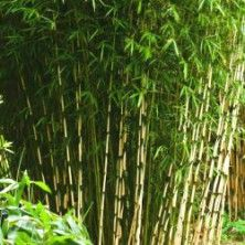 Bambou Fargesia robusta 'Campbell' - bambou brise vue