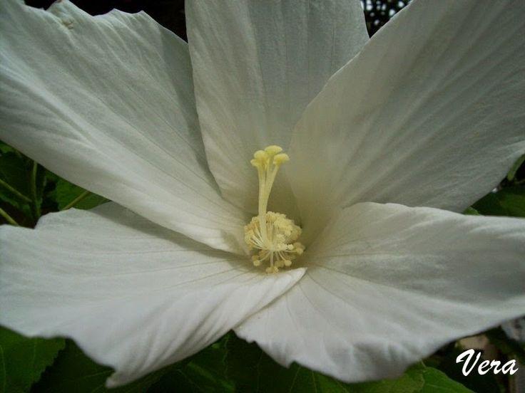 VERA:gondolataim  /kézimunkáról és egyebekről/: Hibiszkusz....és fehér..