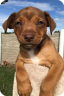 Loxahatchee, FL - Terrier (Unknown Type, Small) Mix. Meet Comet, a puppy for adoption. http://www.adoptapet.com/pet/17335060-loxahatchee-florida-terrier-unknown-type-small-mix
