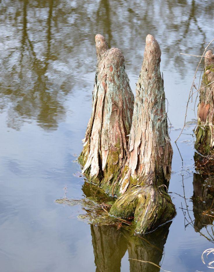 Gáti Erika Légvétel  Alcsúti Arborétum, a Vértes hegység lábánál elterülő természetvédelmi terület. Az arborétumban levő tó szigetének különlegessége az észak-amerikai lombhullató Mocsárciprus (Taxodium distichum), ami a talajból fölfelé álló, úgynevezett légzőgyökereket is fejleszt – ezek akár a fa tövétől 15 méterre is felbukkanhatnak.  Több kép Erikától: www.facebook.com/erika.gati.3