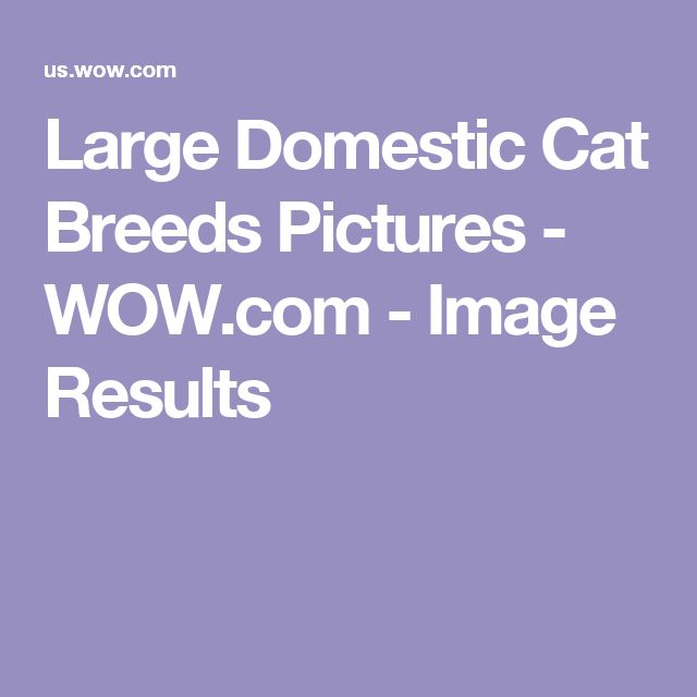 Large Domestic Cat Breeds Pictures - WOW.com - Image Results