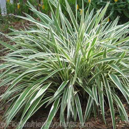 "Flax Lily - Variegated. 1-3' x 1-3'. Sun to Shade, e/green. zones 8-11. 1gall=$2.50 apprx 12-18""..   RESULT ==> RUST on EVERY PLANT in EVERY LOCATION."