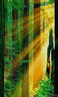 ✯ Redwood Forest - California