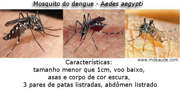Foto do mosquito da dengue