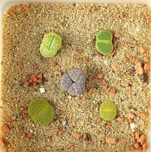 Living Stones—Growing Living Stones Plants