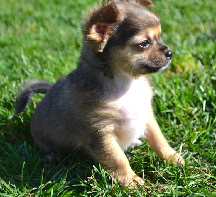 25  best images about we love chihuahuas on pinterest