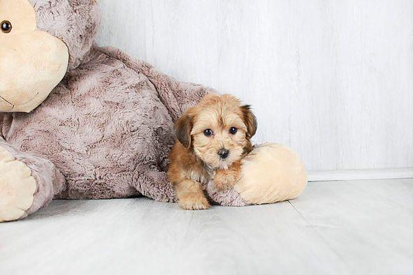Puppies For Sale Columbus Ohio Sunrise Pups Small Breed Puppies Puppies For Sale Maltipoo Puppy Small Breed