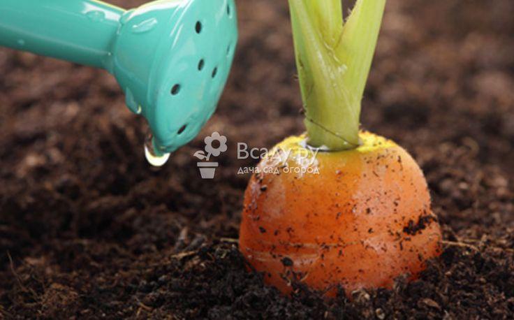 Полив моркови в открытом грунте