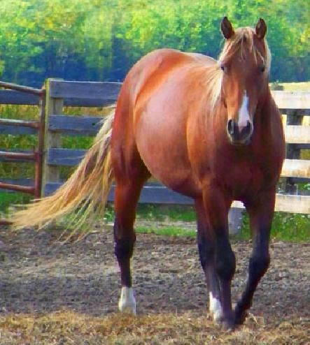 Rare Horse Colors | Waspy Leo, Bay Quarter-Horse Stallion $n/a Ad Details Expires 12/01 ...