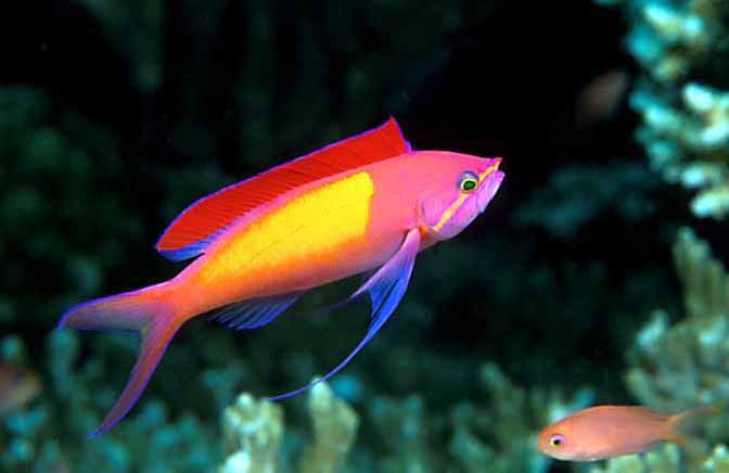 17 best images about reef safe fish on pinterest for Saltwater fish sale