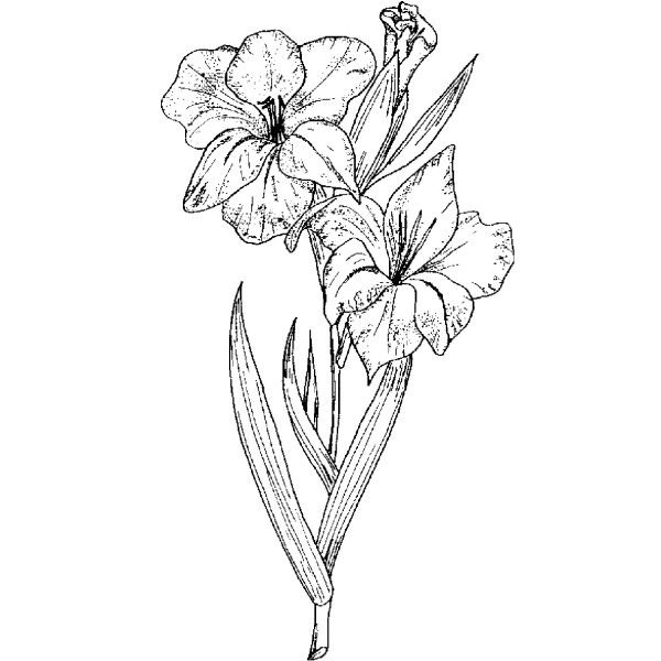 Pink Flower Line Drawing : Best flowers drawing of gladioli images on pinterest