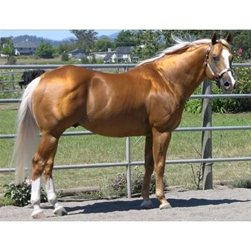 American Quarter Horse from Gans, OK