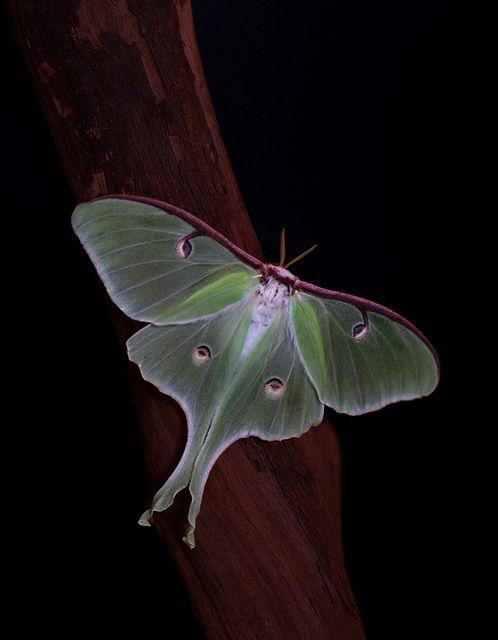 Luna Moth  ~~ by ashockenberry