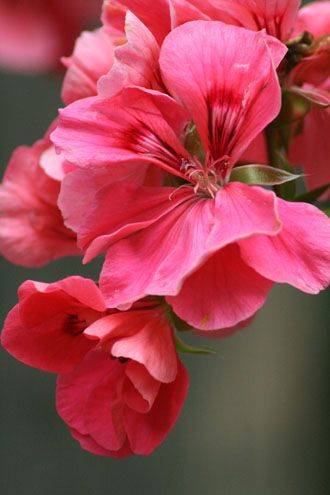 Molina - Salmon colored ivy geranium from my 2004 collection