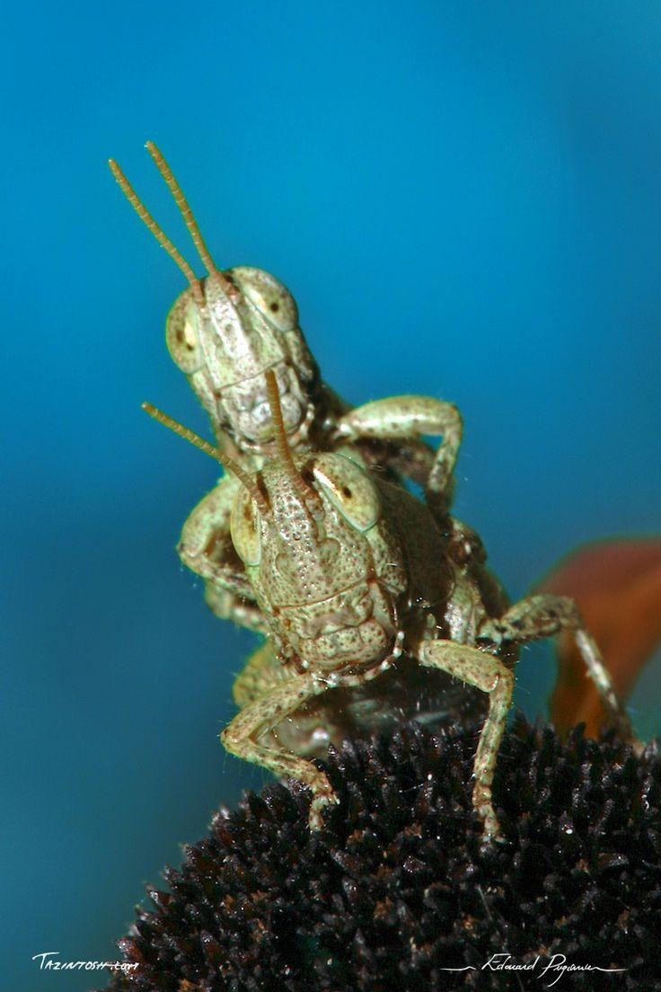 Le Danseur | Dancing Guy: http://tazintosh.com #FocusedOn #Photo #Criquet #Locust #_Fleur #Flower #Accouplement #Coupling #Antenne #Antenna #Canon EF 180mm f/3.5L Macro USM #Canon EOS 5D Mark II #Canon Speedlite 580EX II flash #Carapace #Criquet pansu #Pezotettix giornae #Short-horned grasshoppers #Macro #Œil #Eye #Patte #Paw #Reproduction