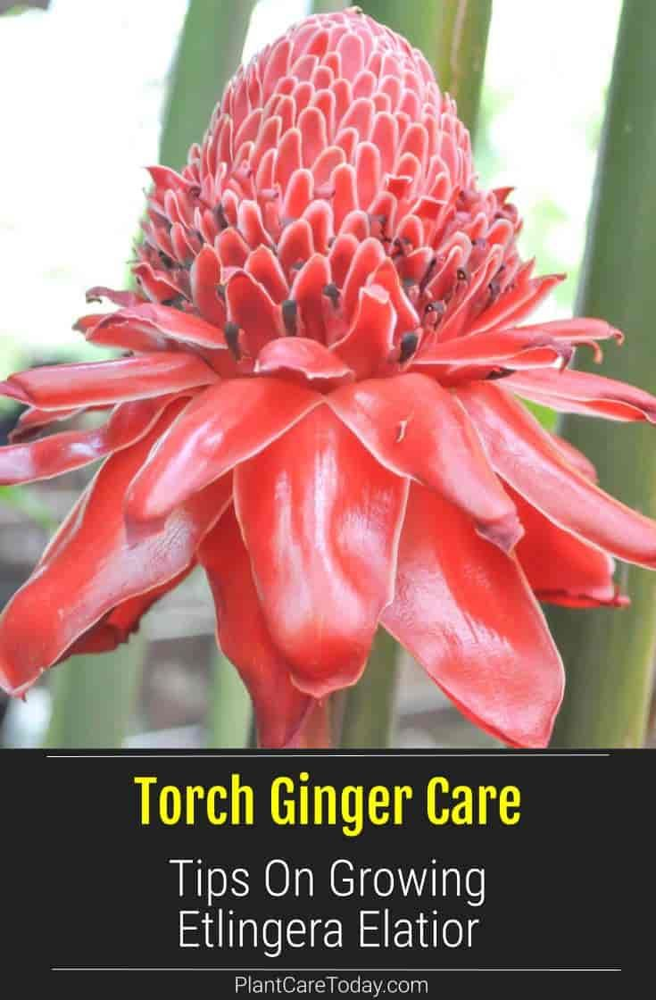 Torch Ginger How To Grow And Care For Etlingera Elatior In 2020 Torch Ginger Torch Ginger Flower Ginger Plant