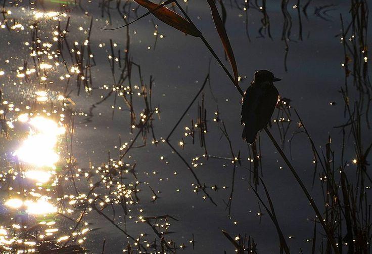 #sunsettimes #horadeatardecer #sunset #atardecer #reflejos #reflections #martinpescador #kingfisher #natureshots #naturelife #naturelovers #freelifestyle #freelife #marsheslife #vidaenlasmarismas #marismas #marshes #deltadelllobregat #buenasvibraciones #goodvibes #gypsysoul #nikon5100