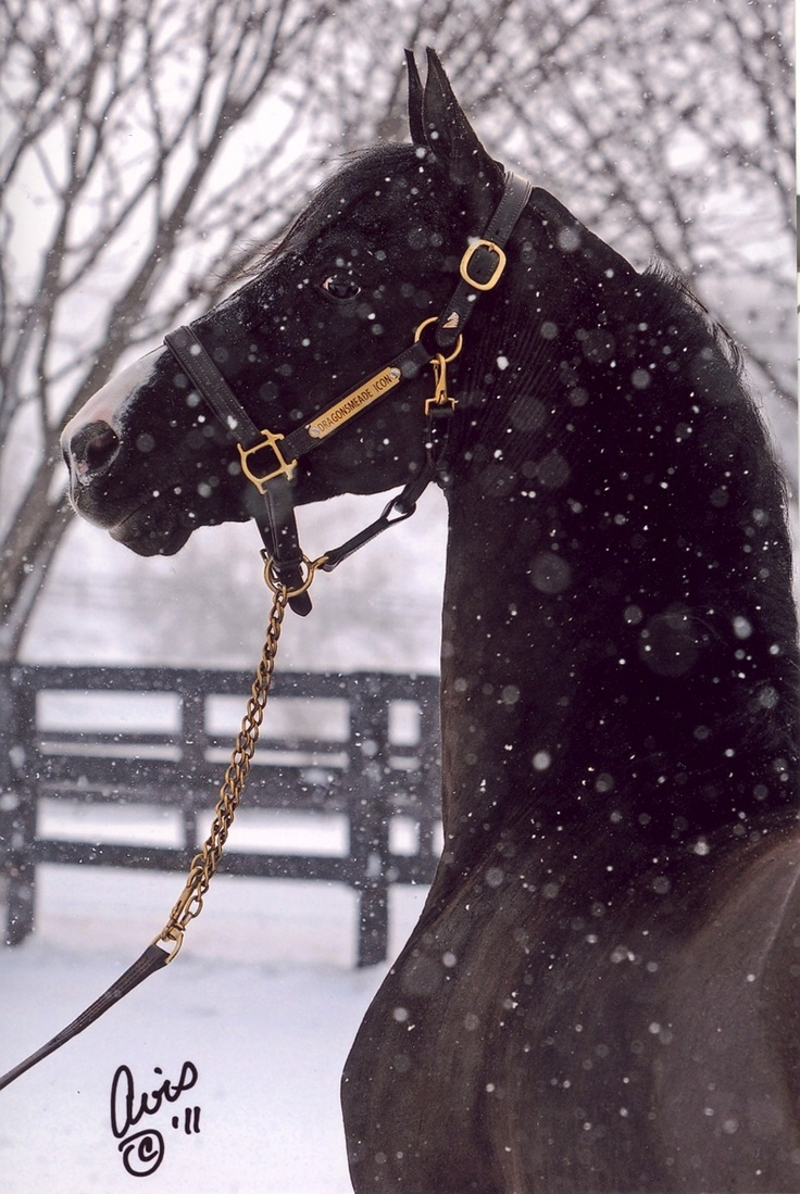 .: Beautiful Horses, Morgan Stallion, Animals, Equine, Dragonsmeade Icon, Snow, Equestrian