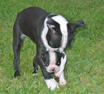 Boston Terrier Breeder Here is why I love Boston Terrier