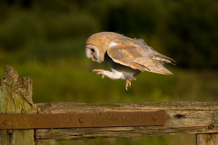 A small hop for a Barn Owl by Andrew Bertram, via 500px