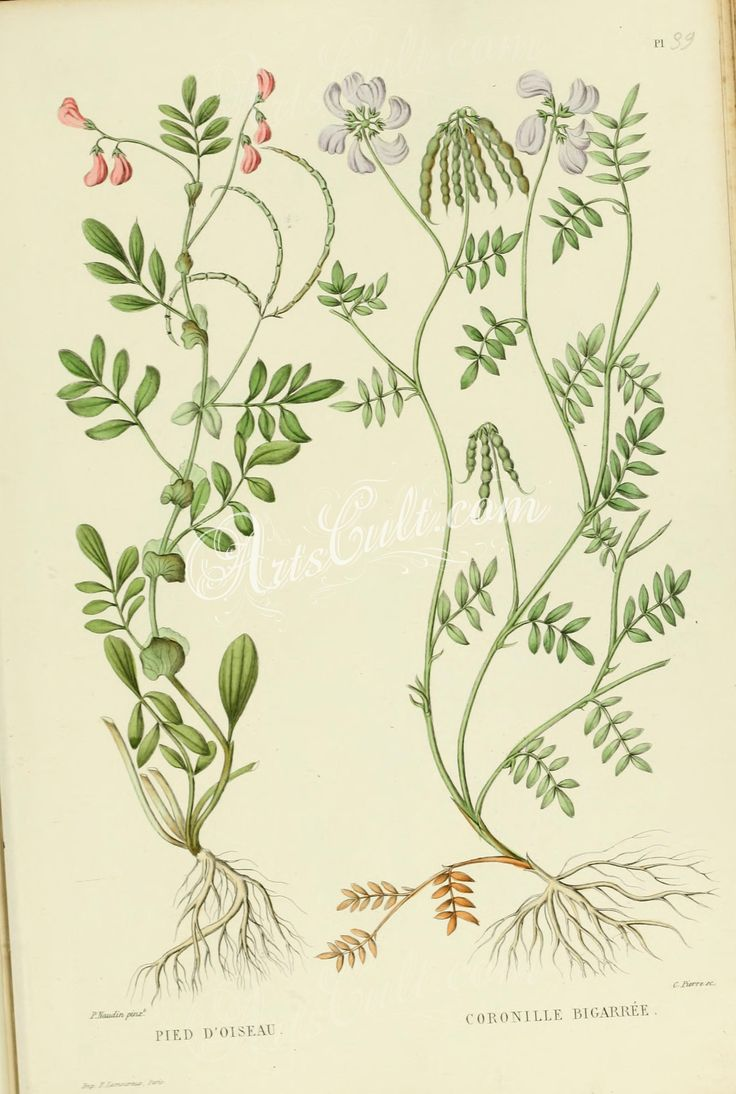 ornithopus perpusillus, coronilla varia      ...