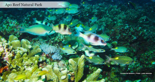 Apo Reef Natural Park  Phl  One of the largest coral reef in the world