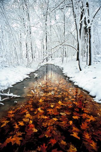 Oak leaves in stream with snowy forest, Minnesota
