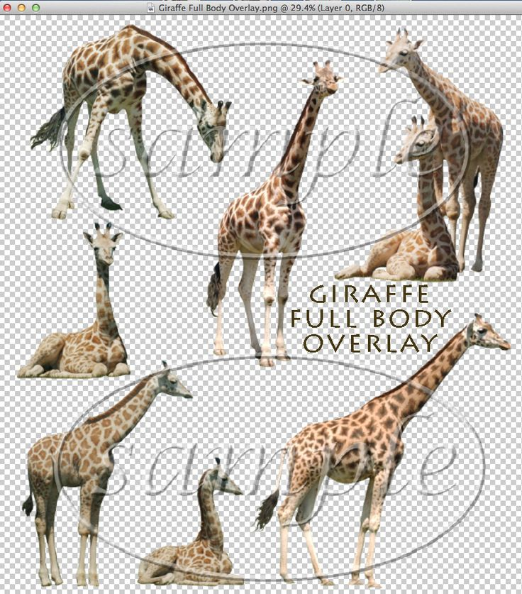 "One high-resolution instant download of this Giraffe Full Body Overlay (a template with 7 total Giraffes to use!) in a .png file format for personal or professional photographic and business use only.Created in Adobe Photoshop.Giraffes at the ""African Lion Safari"" near Toronto, Canada, at ""Safari Niagara"" in Niagara Falls, Canada, and at the ""Buffalo Zoo"" in NY. Photos by: Carrie Ann Grippo-Pike with © Captured By Carrie Photography"