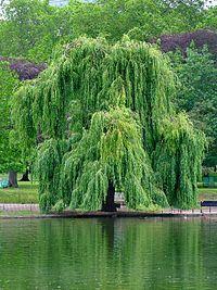 Sauce llorón (Salix Babylonica) en el Lago de Texcoco, México - Wikipedia, la enciclopedia libre
