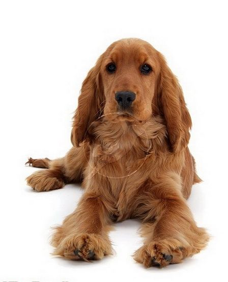English Golden Cocker Spaniel 5 Month Old pic