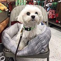 Studio City, California - Maltese. Meet Dinah, a for adoption. https://www.adoptapet.com/pet/20340624-studio-city-california-maltese