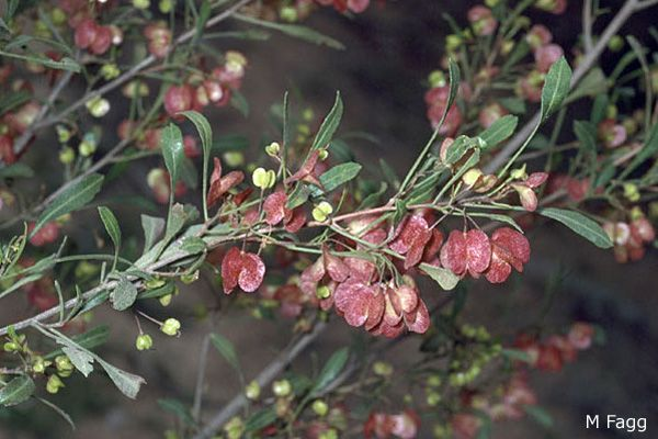 Dodonaea viscosa subsp.spathulata
