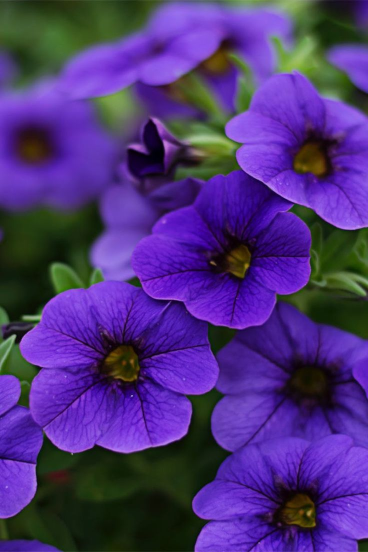 Close Up Photography Of Purple Petunia Flowers In 2020 Petunia Flower Purple Petunias Petunias