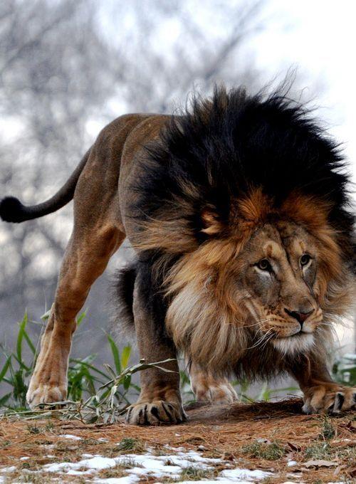 Leão (Panthera leo ) : Pertence ao grupo dos grandes felinos, mas se difere dos demais por viver em grupos de até 30 indivíduos e pela presença de uma juba espessa nos machos. Os leões vivem no continente africano, com exceção de um pequeno grupo que vive na Ásia. Sua alimentação inclui grandes animais como búfalos e gnus. O segundo maior felino do mundo tem o título de rei dos animais devido a sua majestosa aparência.