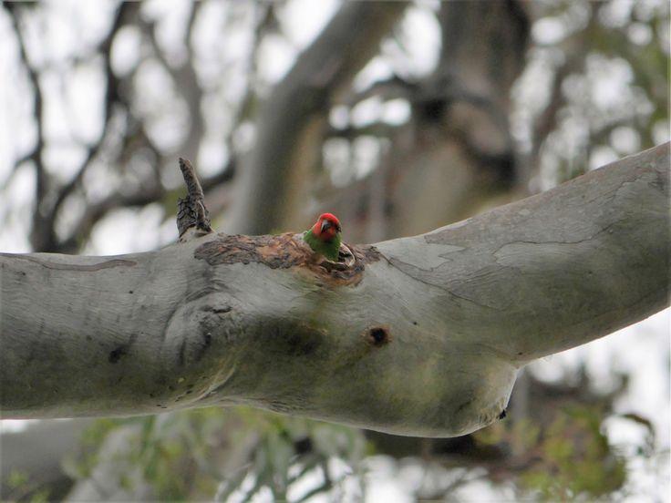 Little Lorikeet peeking out of its hollow at Bundamba