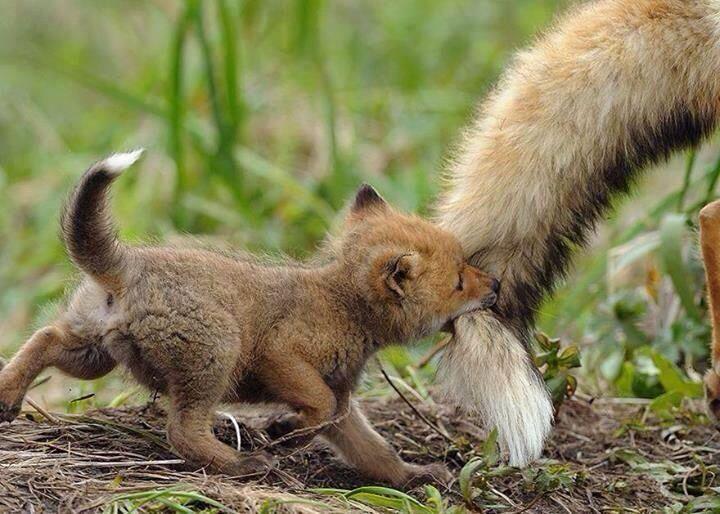 Baby fox golfing onto mom's tail